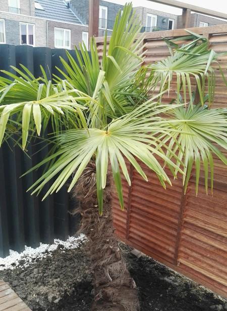 Nya Interieurontwerp palmboom tuin